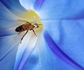 Honey Bee Pollinating. photo courtesy of Shutter Stock